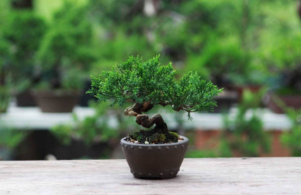 Comment faire un bonsai ? Semis, bouture, yamadori