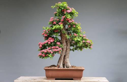 Quel bonsai à fleur choisir pour débuter ?
