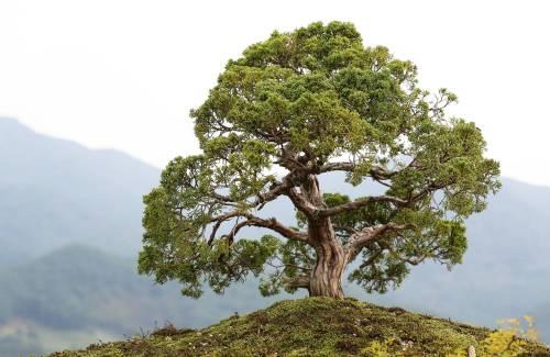 Le bonsai, une relation particulière avec la nature ?