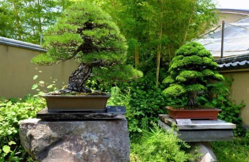 Combien de temps cela prend pour faire un bonsai ?