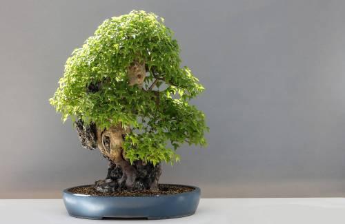 Quel arbre pour faire un bonsai ?
