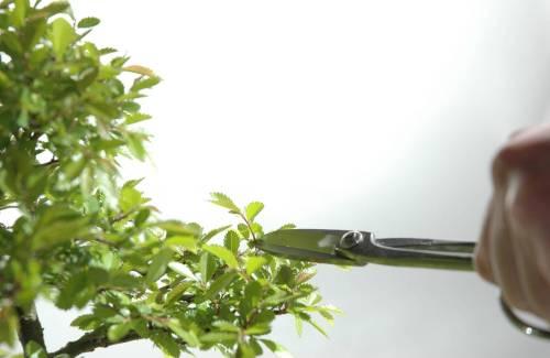 Comment tailler son bonsai ? Les différentes techniques